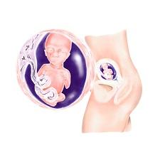 Week 17 Zwangerschap In Zwangerschapskalender Van Babyopkomst