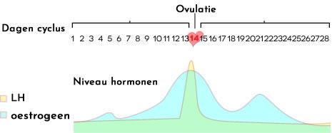 Ovulatietest Hoe Werkt De Ovulatie Test